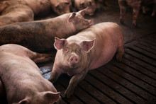 Group Of Pigs Domestic Animals...