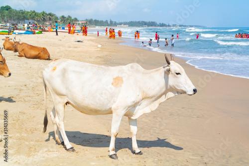 Obraz na plátně white cow on a beach, Mahabalipuram, Tamil Nadu, South India