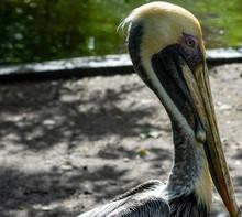 Brown Pelican Close Up, Tropic...