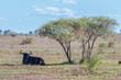 canvas print picture - Ein Gnu ruht im SChatten eines Baums in der Savanne, Kruger Nationalpark