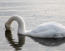 White Swan With Head Underwate...