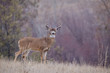 canvas print picture - Whitetail Buck in beautiful autumn habitat during the deer hunting season