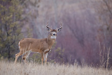 Whitetail Buck In Beautiful Autumn Habitat During The Deer Hunting Season