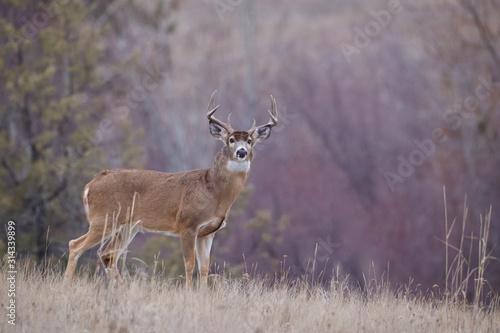 Obraz na plátně Whitetail Buck in beautiful autumn habitat during the deer hunting season