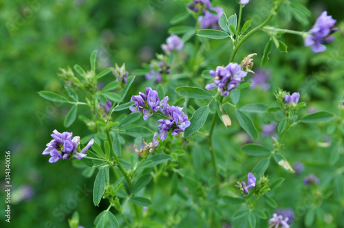 Photo The field is blooming alfalfa