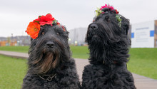 Two Large Black Dogs Sit On Path, Looking Directly Into Camera, Friendly Pets Wear Wreaths On Their Heads In Form Of Flowers. Funny Docile Animals Enjoy Warm Spring Day. Free Space For Advertising.