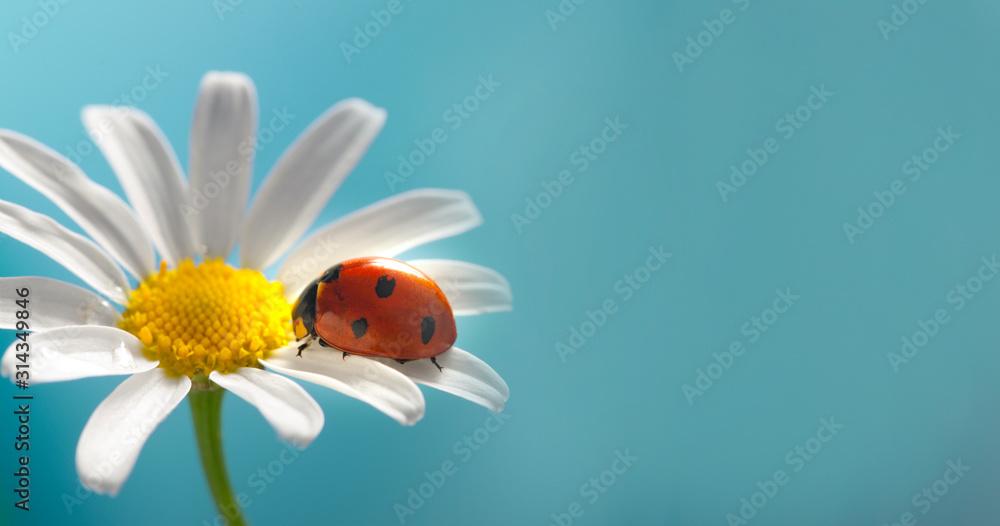 Fototapeta red ladybug on camomile flower, ladybird creeps on stem of plant in spring in garden in summer