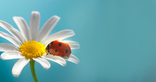 Red Ladybug On Camomile Flower...