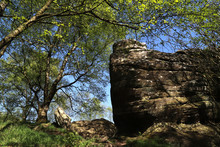 Eroded SandstSandstone And Birch, Brimham Rocks, Harrogate, Yorkshire, UK