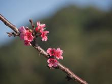 Wild Himalayan Cherry Flower (Prunus Cerasoides), Closeup Of Wild Himalayan Cherry (Prunus Cerasoides)
