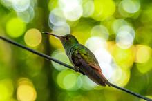Detail Of A Beautiful Hummingbird On Lake Yojoa. Honduras