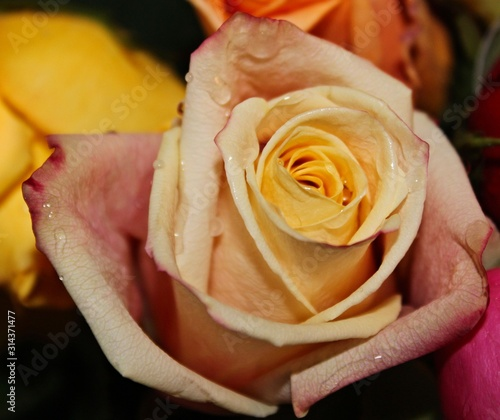 Pastel Rose Bloom