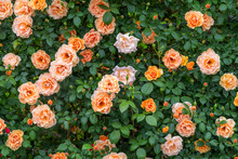 Beautiful Bush Of English Orange Roses In The Garden