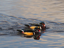 A View Of Male Wood Ducks Swim...
