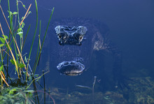 American Alligator In The Ever...