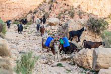 Goats And A Donkey In Wadi Dan...
