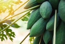 Green Papaya Fruits Growing Hang On The Papaya Tree With Sunlight In Garden Farm Agriculture For Cooking Papaya Salad Popular In Asian Food /