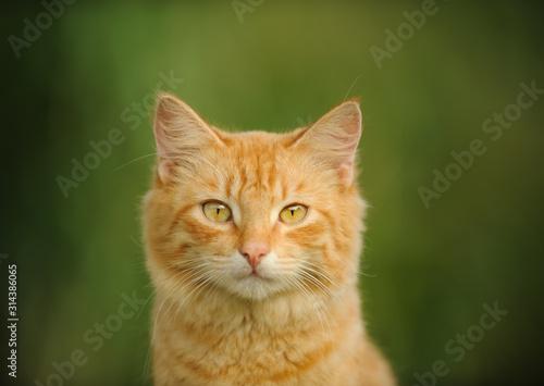 Ginger cat head shot against grass