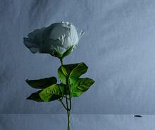 Rose In Water 3