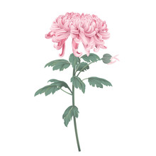 Pink Chrysanthemum Morifolium ...