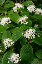 The Flowers Of Cornus Sanguinea, The Common Dogwood Or Bloody Dogwood