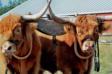 Pair Of Highland Cattle Draft ...