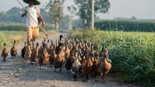 Duck Farming