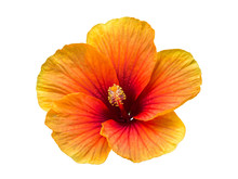 Single Flower Isolated Include...