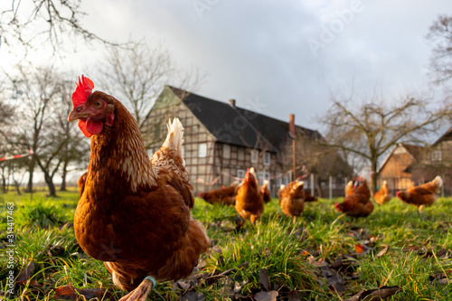 Fotomural Free range organic chickens poultry in a country farm, germany