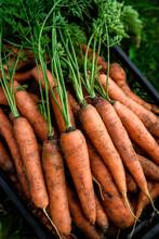 Harvesting Carrots. Fresh Carr...