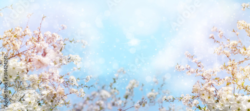 Obraz Branches of blossoming cherry with soft focus on gentle light blue sky - fototapety do salonu