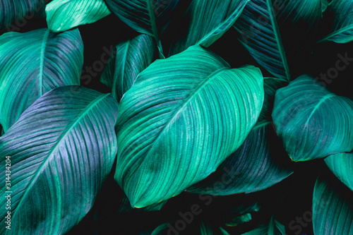 leaves of Spathiphyllum cannifolium, abstract green texture, nature background, tropical leaf #314434204