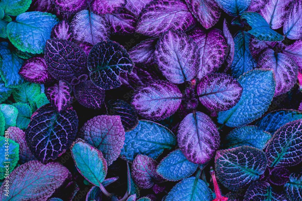Fototapeta closeup nature view of green leaf in garden, dark wallpaper concept, nature background, tropical leaf