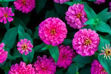 Closeup Beautiful Pink Flower In The Garden, Flower Background
