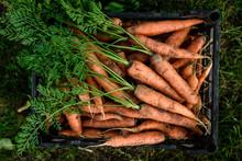 Harvesting Carrots. Fresh Carrot In Black Box.