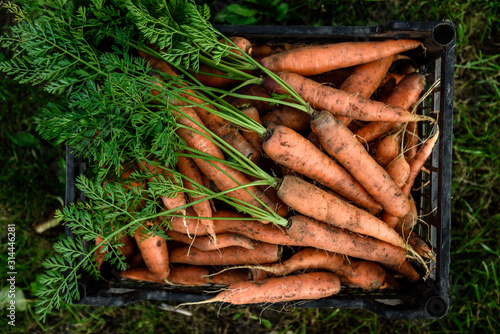 Valokuvatapetti Harvesting carrots. Fresh carrot in black box.