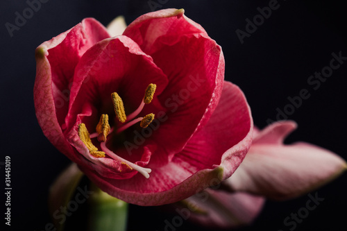 Close up of a red amaryllis Wallpaper Mural