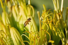 Macro Italian Honey Bee Floating Around A Century Plant Looking For Pollen