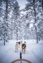Huskey Sled Ride Through Lapla...