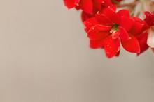 Red Geranium Flower On White Background