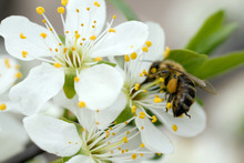 A Honeybee Visits A White Flow...
