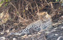 Leopard Resting Under A Tree