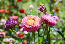 Helichrysum ( Straw Flower) Blooming Outdoors. (Helichrysum Bracteatum)