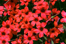 Pretty Deep Red Flowers In Closeup