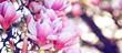 canvas print picture - boccioli di magnolie in fiore con colori pastello nei toni del rosa