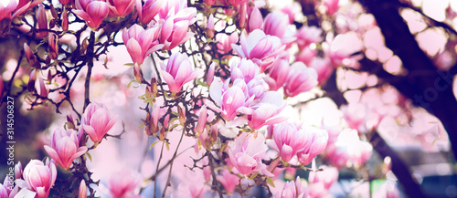 Fotografie, Obraz boccioli di magnolie in fiore con colori pastello nei toni del rosa
