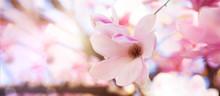 Boccioli Di Magnolie In Fiore ...