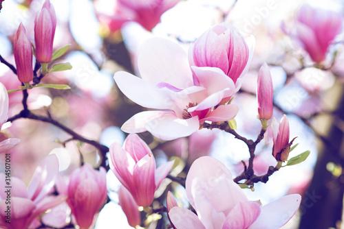 Obrazy Magnolie  kwitnace-paki-magnolii-o-pastelowych-kolorach-w-odcieniach-rozu