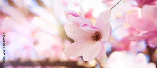 Fototapeta boccioli di magnolie in fiore con colori pastello nei toni del rosa obraz