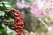 Coffee Berries (cherries) Grow In Clusters Along The Branch Of Coffee Tree Plantation Growing Under Forest Canopy With Blurred Wild Himalayan Cherry Blossom Pink Flower Tree Plant In Background.